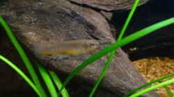 ein Prachtkärpflingweibchen