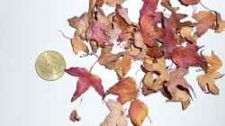 Mini Blätter meines Ahorn Bonsais