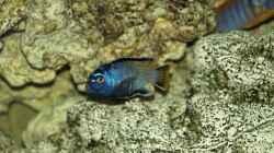 Pseudotropheus msobo `magunga`