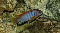Aquarium einrichten mit Labidochromis hongi Red Top