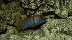 Besatz im Aquarium Mein Malawi