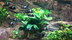 Besatz im Aquarium Tanganjika 840