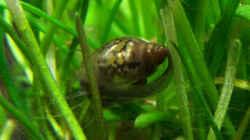Besatz im Aquarium NC20-01