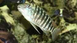 Besatz im Aquarium Becken 125