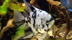 Besatz im Aquarium Becken 12579