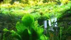 Büschelfarn `salvina auriculata`,Südamerikanischer Froschbiss