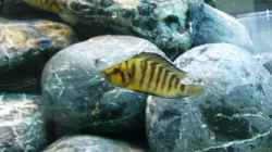 Altolamprologus compressiceps `Gold head`