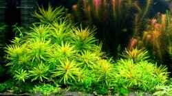 Cuba Ludwigie (Ludwigia inclinata var. verticillata `Cuba`)