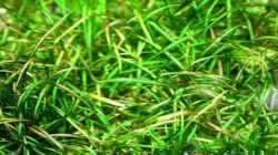 Amazonas Zwergpflanze (Echinodorus tenellus)