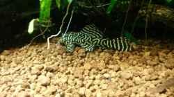 Besatz im Aquarium Unterwasserdschungel