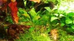 Echinodorus grisebachii `Tropica`
