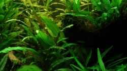 Pflanzen im Aquarium Becken 13015