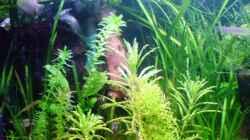 Besatz im Aquarium 54 Liter Asien Becken