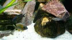 Besatz im Aquarium Malawi 260