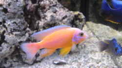 Aulonocara `Fire Fish`