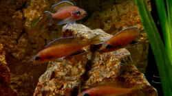 Gruppe Paracyprichromis nigripinnis Chituta