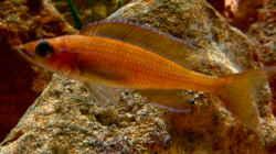 Paracyprichromis nigripinnis Chituta female