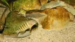 Dekoration im Aquarium Tropheus 1 (nur noch als Beispiel)