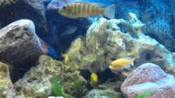 Besatz im Aquarium Malawi Becken 450