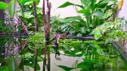 Pflanzen im Aquarium Mco`s Aquarium