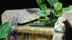 zu wenig Luftfeuchte für den E.latifolius