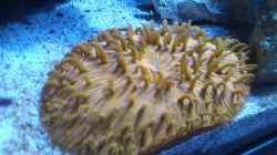 Fungia