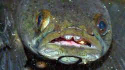 Ein Channa beim fressen vor der (noch)  Dreckigen Aquariumscheibe