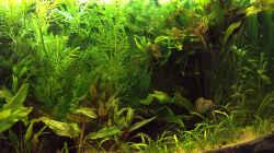 Pflanzen im Aquarium Channa-fever C. pulchra