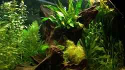 Dekoration im Aquarium Channa-fever C. pulchra