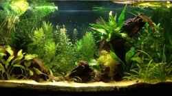 Aquarium Channa-fever C. pulchra