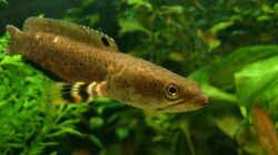 Besatz im Aquarium Channa-fever C. pulchra