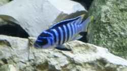Metriaclima zebra Chilumba Luwio Reef