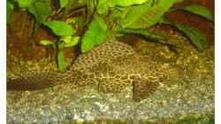 Besatz im Aquarium Fluval Venezia 350
