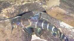 Synodontis brichardi