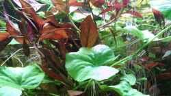 Pflanzen im Aquarium 200l-Americana