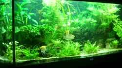 Gesellschaftsbecken(Skalare,Makropoden,Bol.Schmetterlingsbuntbarsche,Antennenwelse)