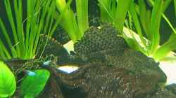 Besatz im Aquarium Nilkugelfisch-Artbecken