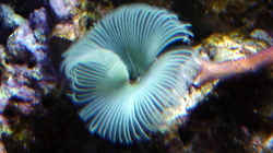 Besatz im Aquarium A Piece of Reef Obsolete