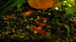 Besatz im Aquarium 54 Liter