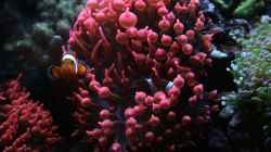 Amphiprion ocellaris - Falscher Clown - Anemonenfisch