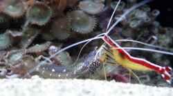 Salarias ramosus - Schleimfisch