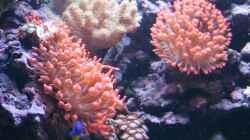 Entacmaea quadricolor - Blasenanemone
