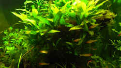Pflanzen im Aquarium Salmler-Becken (Rotkopf/Kaiser)