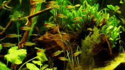 Besatz im Aquarium Salmler-Becken (Rotkopf/Kaiser)