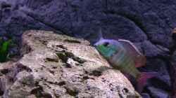 Besatz im Aquarium Malawi 1