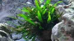 Pflanzen im Aquarium Malawi 1