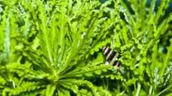 Raubschnecke (Anentome helena)