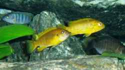 Aquarium einrichten mit Pseudotropheus thropeops orange