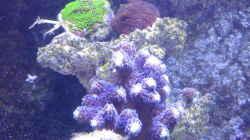 Besatz im Aquarium Riffaquarium