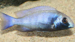 Placidochromis Gisseli, Jungtier